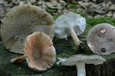 Attention, les applis cueillent parfois les champignons toxiques