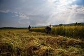Avancée du Cambodge dans une bataille du riz devant le Tribunal européen