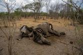 Mort de 12 autres éléphants, la même bactérie soupçonnée