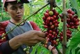 L'Indonesia s'efforce d'améliorer le rendement de production de café
