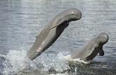 Le Cambodge choisit 4 zones à dauphins de l'Irrawaddy en vue d'un classement par l'UNESCO