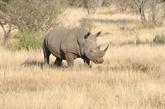 Un puissant appel pour mettre fin à l'utilisation de la corne de rhinocéros au Vietnam