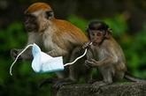 Des macaques aux crabes, les animaux mis en danger par les masques usagés