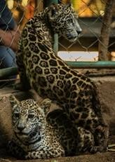 Deux bébés jaguars sauvés des mains de trafiquants grâce aux réseaux sociaux