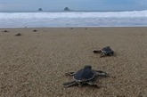 Des petites tortues s'élancent vers la liberté sur une plage d'Indonésie