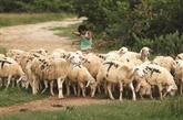 Les agneaux à Ninh Thuân ne sont pas silencieux