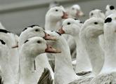 Abattages renforcés contre une grippe aviaire