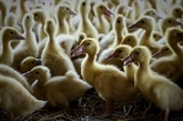 Grippe aviaire : les autorités promettent d'accélérer les abattages de canards