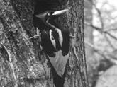 Les États-Unis déclarent 23 espèces définitivement éteintes