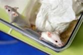 Chez les souris, mieux vaut un jeûne qu'un régime pour vivre plus longtemps