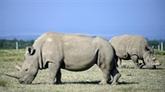 Programme de survie du rhinocéros blanc du Nord : Najin ne donnera plus d'ovules