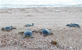 Réserve de biosphère de Núi Chúa, un paradis pour les tortues marines