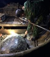 Quang Binh : une tortue olivâtre de 120 kg est relâchée à la mer