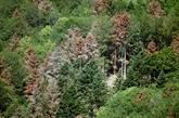 Séquoïa chinois et chêne sudiste : armer la forêt face au changement climatique