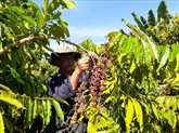 Les exportations nationales de café devraient rebondir en 2021