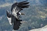 Colombie : recensement inédit du condor des Andes, menacé d'extinction