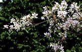 COVID-19 : la fête des fleurs de bauhinie de Diên Biên annulée