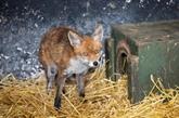 Un pub irlandais se reconvertit en clinique pour animaux sauvages