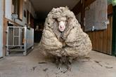 Un mouton délesté de son pelage de 35 kg