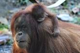Dix orangs-outans relâchés à Bornéo, sous la menace du coronavirus