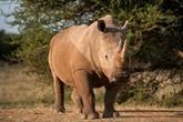 Saisie de cornes de rhinocéros estimées à plus de 3 millions d'USD