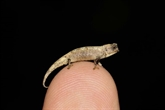 Madagascar : découverte du plus petit reptile au monde
