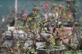 Thât thôn, fleur annonciatrice de l'arrivée du printemps