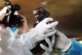 Le Vietnam réussit à cloner des cochons ventrus à partir de cellules somatiques