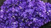 La violette de Tourrettes-sur-Loup