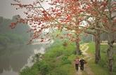 Les kapokiers en pleine floraison, les campagnes voient rouge