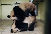 Zoo de Beauval : les pandas Huan Huan et Yuan Zi s'accouplent