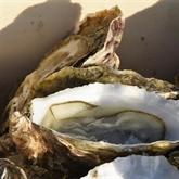 Longtemps disparue, l'huître portugaise refait surface