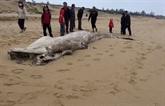 Enterrement dune baleine denviron une tonne échouée sur la côte de Quang Binh