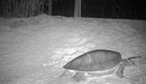 Cambodge : première ponte d'œufs de tortues royales en captivité