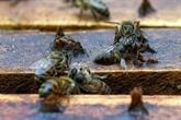 En Colombie, mise à l'index du fipronil, pesticide qui empoisonne les abeilles