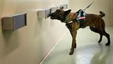 Italie : des chiens s'entraînent à détecter le COVID chez les humains