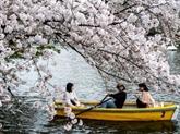 Floraison des cerisiers en un temps record au Japon