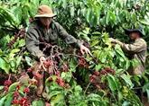 Les exportations nationales de café rapportent 771 millions d'USD au 1er trimestre