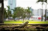 L'iguane local des Antilles menacé par une espèce invasive