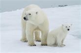 En manque de phoques, les ours blancs se tournent - mal - vers les œufs