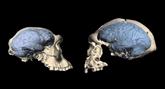 Le cerveau humain moderne est apparu il y a moins longtemps que prévu