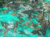 Succès dans la production du mérou Trân Châu