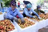Le litchi de Thanh Hà est vendu sur Lazada