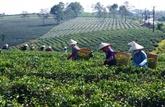 Le Pakistan, premier marché du thé vietnamien au 1er trimestre