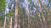Priorité au développement des forêts d'arbres de très grandes tailles