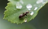 Un parasite ralentit le vieillissement de fourmis, pour mieux en faire des proies