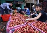 Le Vietnam supervise la quarantaine des litchis à exporter vers le Japon