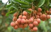 Plus de 3.600 tonnes de litchis frais exportés via Lào Cai