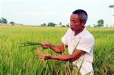 Pour protéger les marques du riz ST24 et ST25 du Vietnam