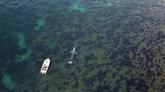 La baleine égarée en Méditerranée a peu de chances de retrouver son milieu